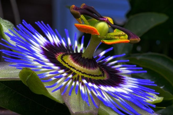 Various Health Benefits Of Passion Flowers
